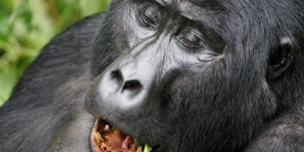 bwindi_gorila_1