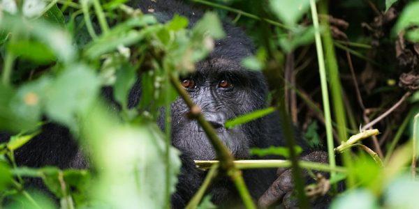 gorila_bwindi_1