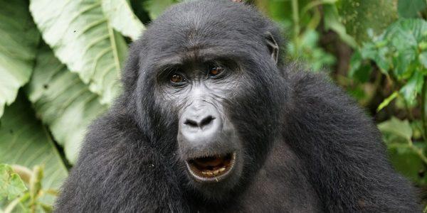 gorila_bwindi_3
