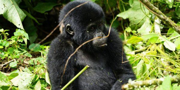 gorila_bwindi_4