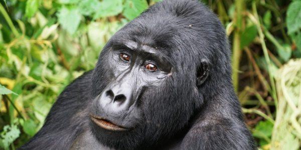 gorila_bwindi_6
