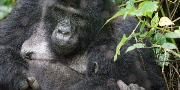 gorila_bwindi_7