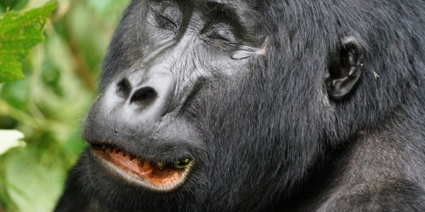 gorila_bwindi_8
